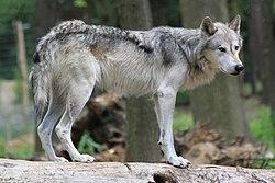 Canis lupus Ernstbrunn.jpg