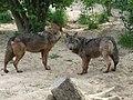 Canis lupus signatus (Kerkrade Zoo) 08.jpg