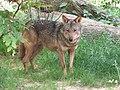 Canis lupus signatus (Kerkrade Zoo) 09.jpg