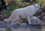 Canis lupus tundrarum Lobo Park.jpg