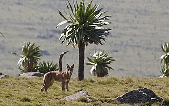 Ethiopian wolf - Northern Ethiopian wolf in the Simien Mountains