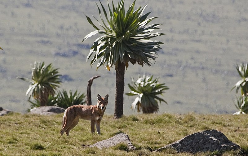 Bale Mountains National Park protects the largest remaining population of the Ethiopian endemic Simien Wolf, the rarest canine in the world.