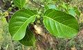Canthium coromandelicum 26.JPG