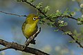 Cape White-eye, Zosterops pallidus, at Marakele National Park, Limpopo Province, South Africa (45953352704).jpg
