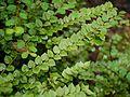 Capparis rotundifolia (7544778500).jpg