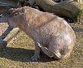 Capybara 1d (5512599534).jpg