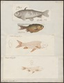 Carassius auratus - 1700-1880 - Print - Iconographia Zoologica - Special Collections University of Amsterdam - UBA01 IZ15000062.tif