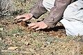 Cardoon harvest in Iran 2020-04-18 19.jpg