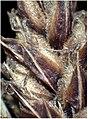 Carex lasiocarpa inflorescens (21).jpg