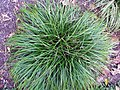 Carex morowii Kaga Nishiki 1zz.jpg