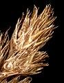 Carex ovalis inflorescens (19).jpg