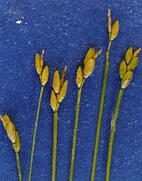 Carexleptalea.jpg