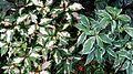 Caricature Plant (Gratophyllum pictum).jpg