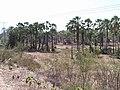 Carnaúbal - panoramio.jpg