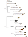 Carnivora phylogeny (eng).png