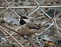 Carolina Chickadee. Poecile carolinensis (38220721111).jpg