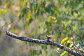 Carolina wren (21821295166).jpg