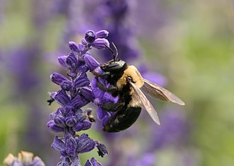 Carpenter bee - Xylocopa virginica in the United States