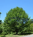 Carpinus betulus - Arnold Arboretum - DSC06916.JPG