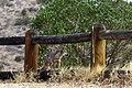 Catalina Island Fox (Urocyon littoralis catalinae) on fence.jpg