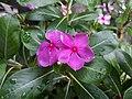 Catharanthus roseus of bogura.jpg