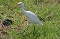 Cattle egret (Bubulcus ibis),Fuerteventura.jpg