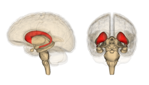 Interference theory - Caudate Nucleus highlighted in red
