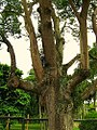 Ceiba speciosa - Paineira botanico2.jpg