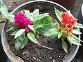Celosia argentea-anna park-yercaud-salem-India.JPG