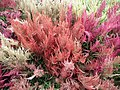 Celosia wool flower from Lalbagh flower show Aug 2013 8457.JPG