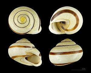 White-lipped snail -  Four views of a shell of Cepaea hortensis