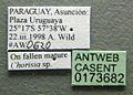 Cephalotes jheringi casent0173682 label 1.jpg