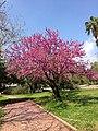 Cercis siliquastrum - Judas tree 01.jpg