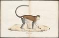 Cercopithecus mona - 1700-1880 - Print - Iconographia Zoologica - Special Collections University of Amsterdam - UBA01 IZ19900109.tif