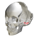 Cerebellar fossa of occipital bone06.png