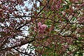 Cerisier du Japon 001.JPG