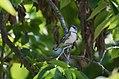 Cerulean Warbler (male) (34996528386).jpg