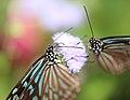 Ceylon Blue Glassy Tiger - Ideopsis similis - 琉球浅葱斑(リュウキュウアサギマダラ) (8899323837).jpg