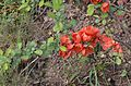 Chaenomeles japonica var alpina.jpg