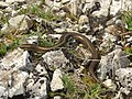 Chalcides chalcides Italy 3.jpg