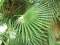 Chamaerops humilis, palmblaar, Manie van der Schijff BT, a.jpg