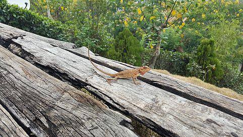Picture of a small chameleon, photoraphed in Ella, Sri Lanka