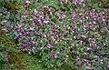 Chamerion latifolium 01(js), Myggbukta (Greenland).jpg