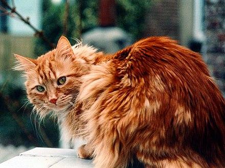 Un chat roux.