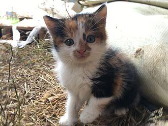 Calico cat - A typical calico