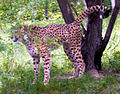 Cheetah marking a tree.jpg