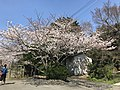 Cherry blossoms in front of gate of Nokonoshima Island Park.jpg