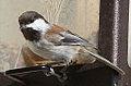 Chestnut-backed Chickadee (7998241398).jpg
