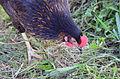 Chicken-down.jpg