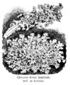 Chicorée frisée impériale Vilmorin-Andrieux 1904.png